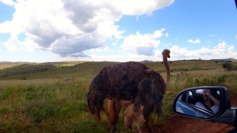 Curious Ostrich, South Africa