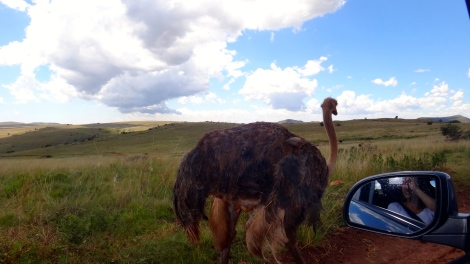 Curious Ostrich, South Africa